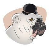 British bulldog with derby hat. Illustration of a british bulldog with derby hat Royalty Free Stock Image