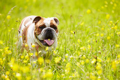 British Bulldog In Field Of Yellow Summer Flowers stock image