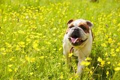 British Bulldog In Field Of Yellow Summer Flowers Stock Image