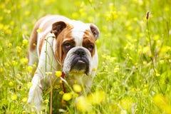 British Bulldog In Field Of Yellow Summer Flowers Stock Photos