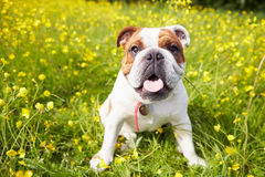British Bulldog In Field Of Yellow Summer Flowers Stock Photography