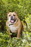 British Bulldog Puppy Royalty Free Stock Images