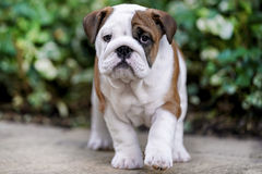 British Bulldog puppy. A close up portrait of an 11-week old British bulldog puppy Stock Photography