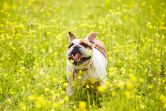 British Bulldog Running In Field Of Yellow Summer Flowers Stock Photography