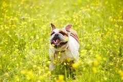 British Bulldog Running In Field Of Yellow Summer Flowers Stock Photography