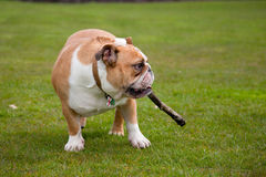 British Bulldog Royalty Free Stock Photography
