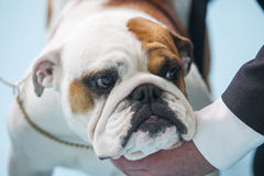 British Bulldog under the care of its owner before dogs exhibiti Stock Photography