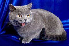 British cat-02. British blue cat on deep-blue background Stock Photography