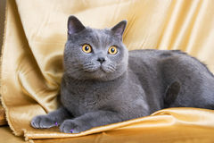 British cat-03. British blue cat on yellow background Stock Image