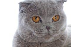 British cat Royalty Free Stock Image