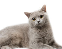 British cat. Lying. Isolated on white Stock Photo