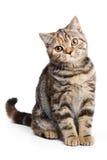 British cat Stock Photos