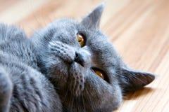 British Cat. Closeup lying grey british cat with orange eyes Stock Photography