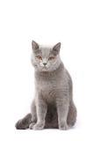 British cat royalty free stock photography