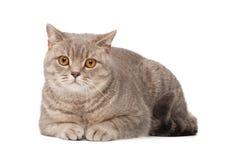 British cat royalty free stock photo