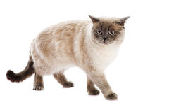 British cat Stock Image