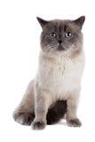 British cat Stock Image