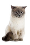 British cat. Isolated on the white Stock Photo