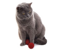 British cat. Royalty Free Stock Images