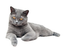 The British cat Royalty Free Stock Photography