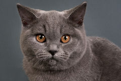 British  cat Royalty Free Stock Photography