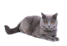 British cat. British blue cat isolated on the white background Stock Photography