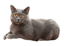 The British cat Stock Images
