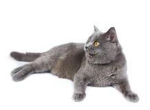 British cat Royalty Free Stock Images