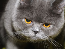 British cat. Royalty Free Stock Image