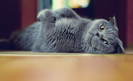 British cat. With bright green eyes lying on her back and looks into the camera Royalty Free Stock Images