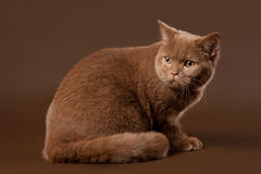 British cat. On brown background Stock Photography