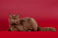 British cat. On dark red background royalty free stock photo