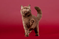 British cat. Playing on dark red background Royalty Free Stock Images