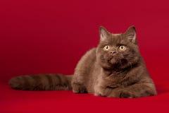 British cat. Calm British cat on dark red background royalty free stock photo