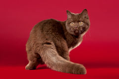 British cat. On dark red background Royalty Free Stock Photos