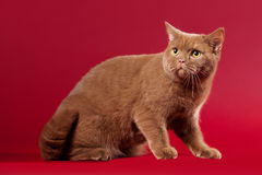 British cat. On dark red background Royalty Free Stock Image