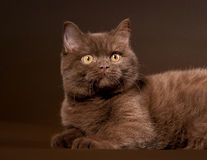 British cat. On dark brown background Royalty Free Stock Image