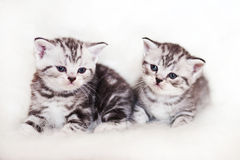 British cat. Two kittens playing the British breed Stock Photography