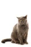 British cat. Isolated on white background Stock Image