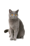 British cat Royalty Free Stock Photo
