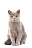British Cat Stock Photo