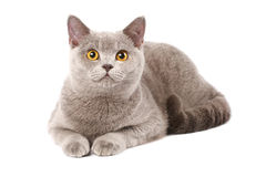 British cat. Isolated over white Royalty Free Stock Images