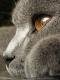 British cat. Close up of british cat head from the side royalty free stock photo