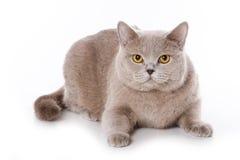 British cat Stock Images