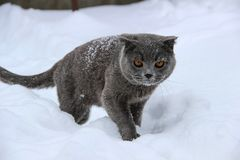 A British cat creeps through the snow royalty free stock image