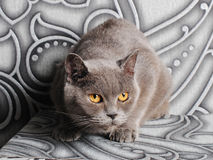 British cat on a background of gray walls with a silver monogram Stock Photography