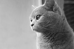 British cat with big eyes. Black and white photo. Nice looking Stock Image