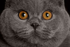 British cat with big round eyes. Close-up portrait British gray cat with big yellow eyes Royalty Free Stock Photos