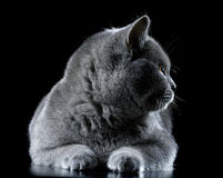 British  cat on a black background Stock Photography