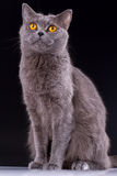 British cat on a black background Royalty Free Stock Images